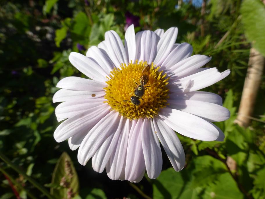 Margarite mit Insekt
