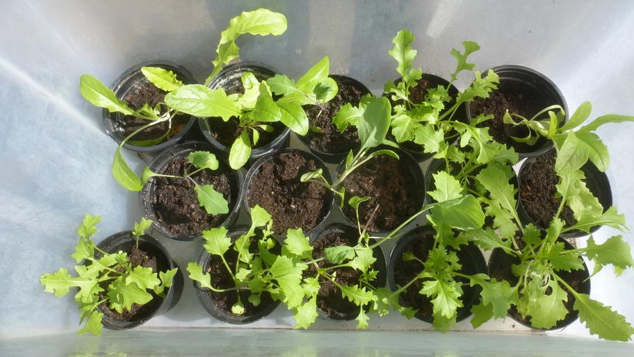 Von Karin aufgezogene Jungpflanzen in einer Plastikbox.