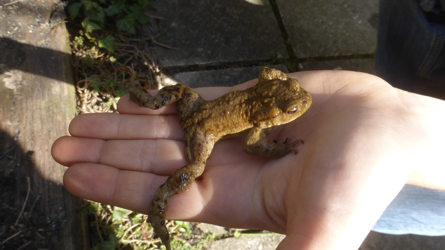 Eine braune Kröte aus dem Gartenteich auf der Hand von Kasimir.